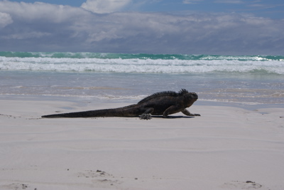 Marine Iguana at Tortuga Bay, Galapagos Islands